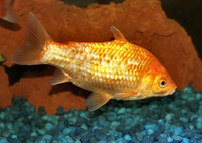 Goldfish, Common Goldfish, Carassius auratus