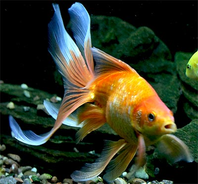 Red fantail goldfish lifespan - photo#25