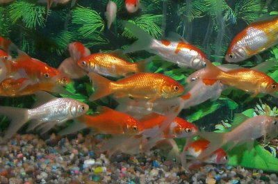 School of Common and Commet Goldfish, Carassius gibeliopreviously Carassius auratus auratus