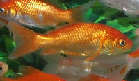 Picture of a Common Goldfish