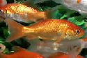 Click to learn about Goldfish Types