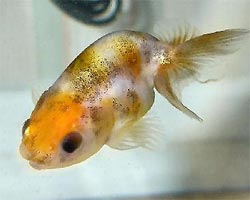 Lionhead Goldfish, Chinese Lionhead Goldfish Information, Care and