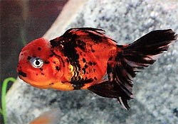 Red Cap Oranda Goldfish (left) Lionhead Goldfish (right), Carassius auratus