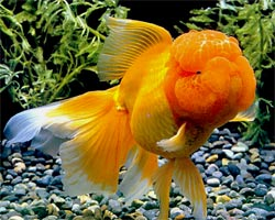 how to properly change goldfish water