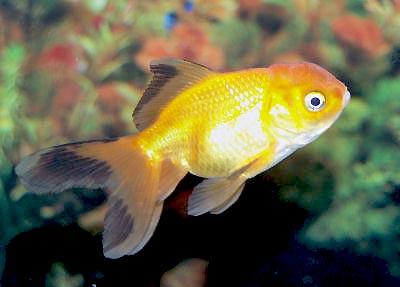 Oranda Goldfish, Oranda Fancy Goldfish, Carassius auratus