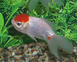 Redcap Oranda developing its wen