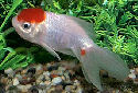 Animal-World info on Redcap Oranda Goldfish
