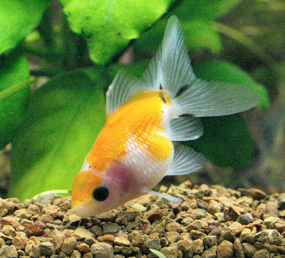 Pearl Scale Goldfish, Pearlscale Fancy Goldfish, Carassius auratus