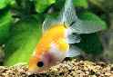 Pearlscale Goldfish Fact Sheet