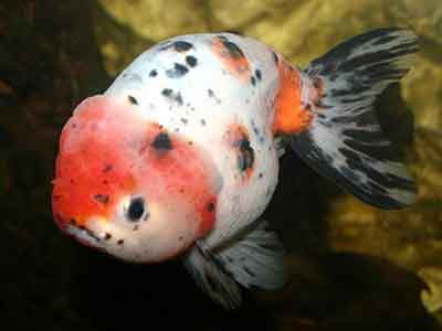Ranchu Fancy Goldfish, Red and White Ranchu Goldfish, Buffalo-head Goldfish