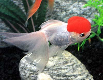 Redcap Oranda Goldfish, Red Cap Oranda Fancy Goldfish