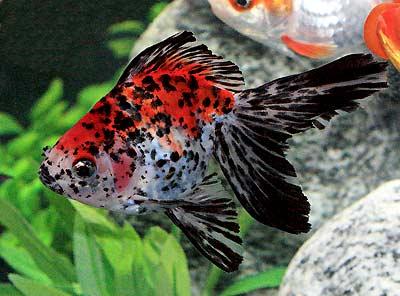 Ryukin Goldfish, Fancy Goldfish, Carassius auratus