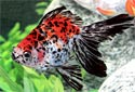 Animal-World info on Ryukin Goldfish