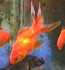 Picture of Fantail Goldfish, Carassius auratus