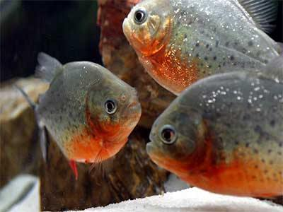 Red Belly Piranha Pygocentrus nattereri, Piranha Fish Information, Facts and Fiction