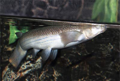 Four-Eyed Fish, Anableps anableps