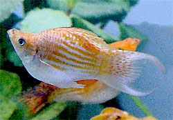 Cremecicle Lyretail Balloon Molly, Poecilia hybrid