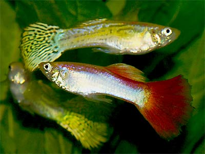 Livebearer fish Fancy Guppies, Poecilia reticulata