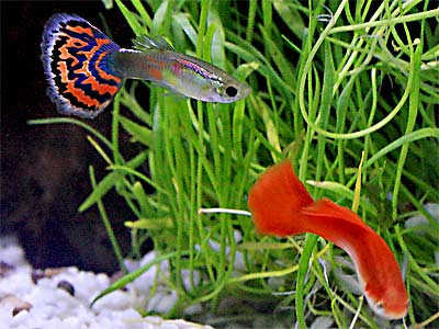 Guppies, Fancy Guppy, Poecilia reticulata