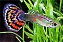 Fancy Guppies Fact Sheet