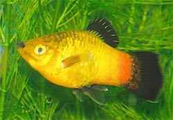 Platy Fish: Southern Platy, Xiphophorus maculatus, Variatus Platy