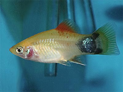 Mickey Mouse Platy, Xiphophorous maculatus