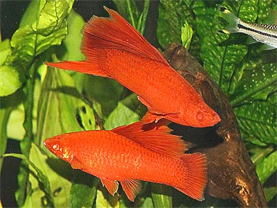 Red Swordtail Fish, Xiphophorus hellerii
