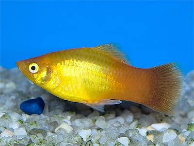 Short-finned Marigold Molly, Poecilia sphenops