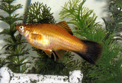 Swortail Fish