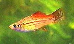 Swordtail Fish Xiphophorus Hellerii Green Swordtail