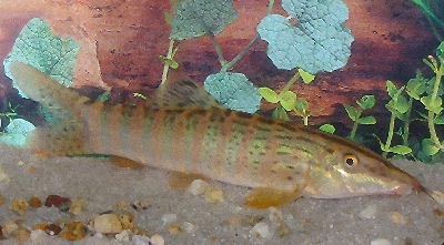 Berdmore's Loach, Syncrossus berdmorei, Blyth's loach, Burmese Peppered Firetail Botia, Redfin Tiger Loach