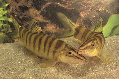 Robusta Botia, fish guides for the Cobitidae family of Loach species