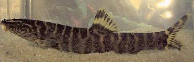 Lepto Loach, Leptobotia Guilinensis, Royal Gold Banded Loach
