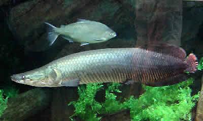 Arapaima Arapaima Gigas Pirarucu Paiche Fish Guide