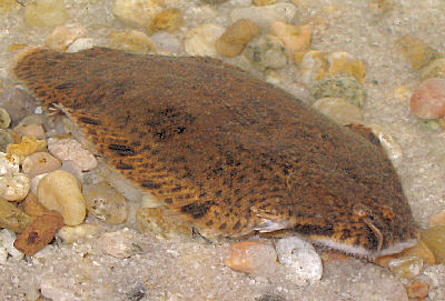 Freshwater Sole, Brachirus panoides, False Freshwater Sole, False Pan Sole, Tonguefish, Hogchoker Sole