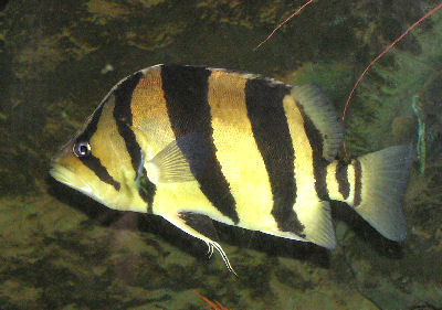 Gold Tiger Datnoid, Perches and Perch-like fish types