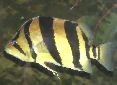 Click for more info on Siamese Tiger Fish