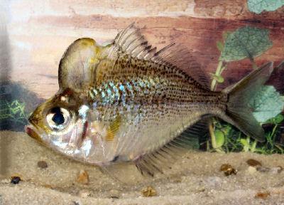 Humphead Glassfish, Parambassis pulcinella, Humphead Perchlet, Humphead Glass Perchlet