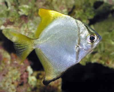 Mono Fish, Monodactylus argenteus, Silver Moony, Moonfish, Mono Argentus