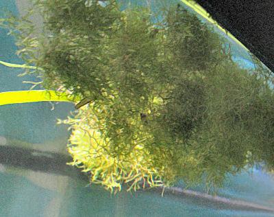 Crystalwort, Floating Liverwort or Riccia
