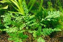 Click for more info on Malayan Aqua Fern