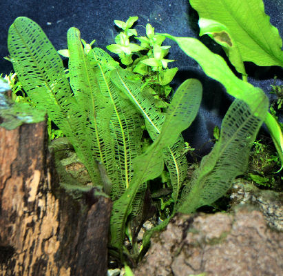Picture of a Planted Aquarium with a Madagascar Lace Plant