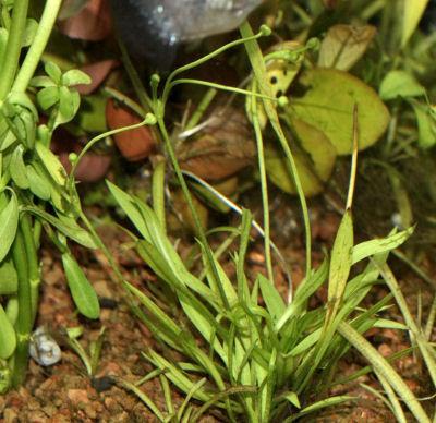 Pygmy Chain Swordplant
