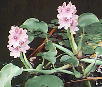 Picture of a Water Hyacinth