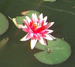 "Picture of a ""Hardy"" Water Lily"