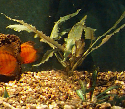 Picture of a Wendt's Cryptocoryne
