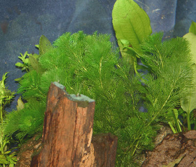Picture of a Planted Aquarium with the Stem Plant Carolina Fanwort or Green Cabomba