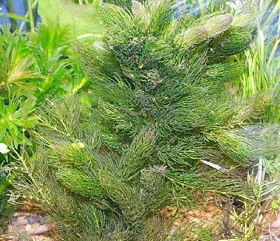 Picture of Hornwort