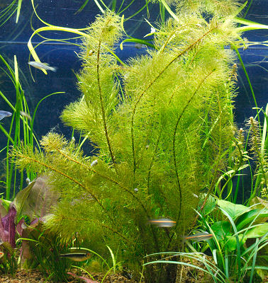 Picture of a Planted Aquarium with Water Milfoil