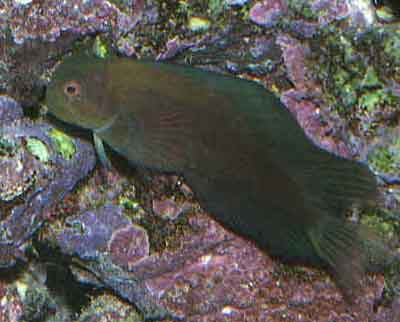 Picture of a Red-lipped Blenny during the day.